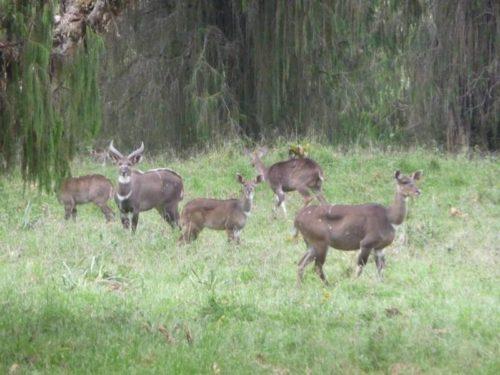 Antilope Nyala dans les Montagnes du Balé, Ethiopie