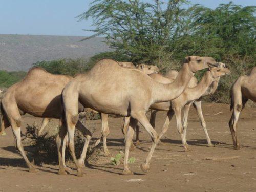 Chameaux à Yabello, Ethiopie du Sud
