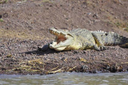 Crocodile du lac Chamo, Arba Minch, vallée du Rift, Éthiopie