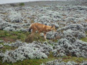 Renard d'Abyssinie, mammifère endémique d'Ethiopie, dans les montagnes de Balé