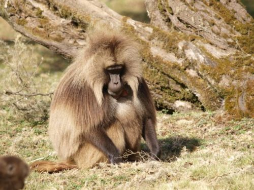 Babouin Gelada, mammifère endémique, dans les monts Simien, Ethiopie
