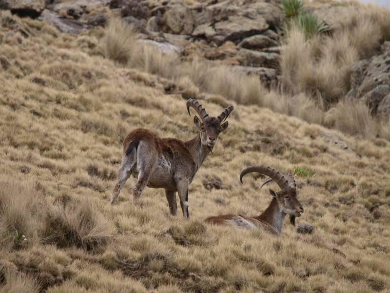 Walia Ibex, mammifère endémique d'Éthiopie, dans les monts Simien