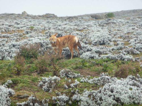 Loup d'Abyssinie, mammifère endémique d'Ethiopie, dans les montagnes de Balé