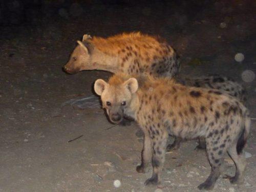 Hyènes à Harrar, Ethiopie