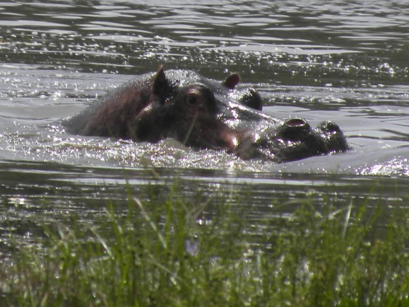 Hippopotames dans le lac Chamo, porte d'entrée de la vallée de l'Omo, Éthiopie