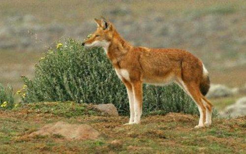 Loup d'Abyssinie, mammifère endémique d'Ethiopie, dans les montagnes du Balé