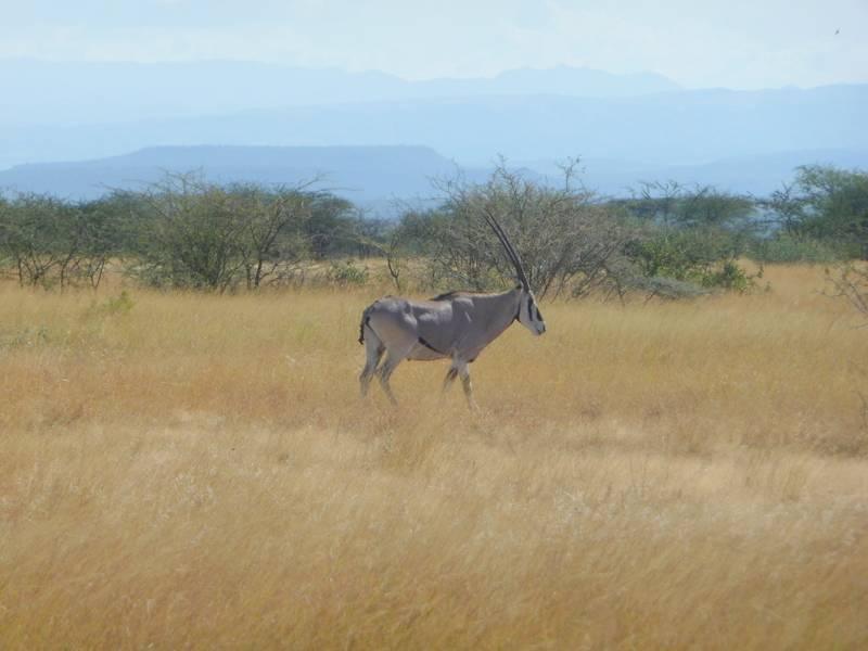 Oryx dans le Parc National Awash, Éthiopie